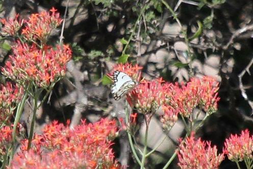 Forest White on Kalanchoe rotundiflora