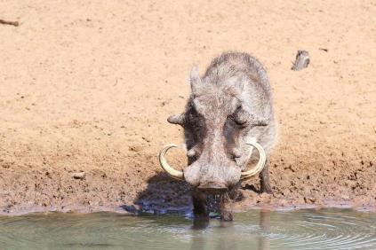 Another Grandpa Warthog