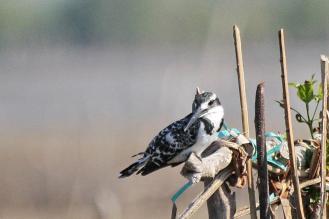 Pied Kingfisher - female