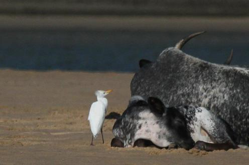 Cattle Egret with Nguni calf and mum.