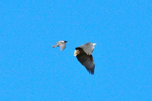 African Fish-Eagle being bombed by a Pied Crow - John Bevan