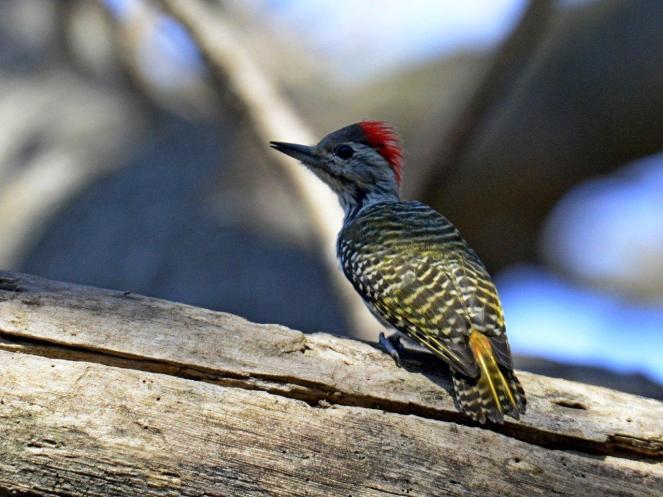 Cardinal Woodpecker - Dave Rimmer