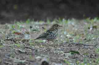 Spotted Ground Thrush -Decklan and Hennie