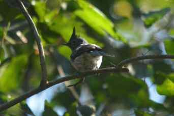 Blue-mantled Crested Flycatcher - Decklan and Hennie