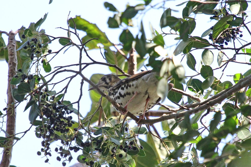 Spotted Ground Thrush at top of tree eating berries