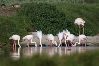 Greater Flamingos ruffled by a breeze