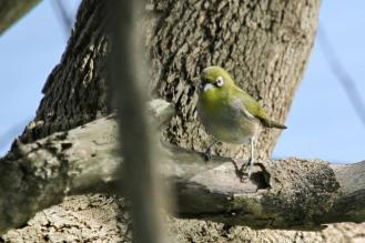 Cape White-eye - capensis
