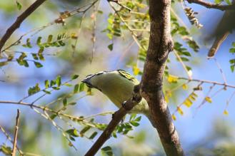 Yellow-rumped Tinkerbird trying hard to ascertain where our call was coming from