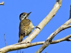Cardinal Woodpecker