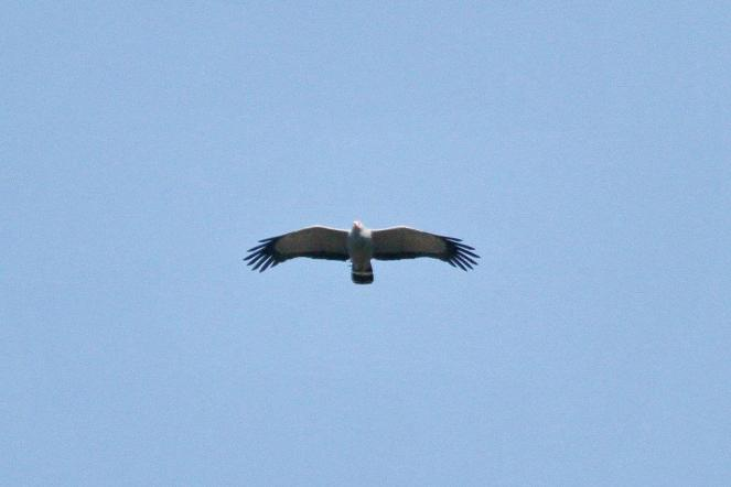 One of a pair of African Harrier Hawks hovering over the Valley.