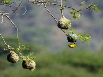 Eastern Golden Weaver (Ploceus subaureus)