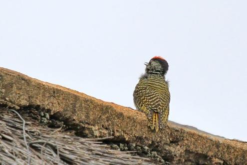 Juvenile Cardinal Woodpecker
