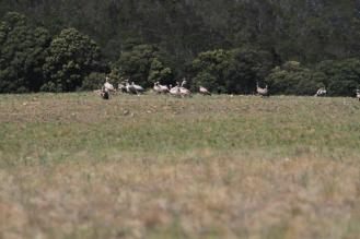Another group of Cape Vultures
