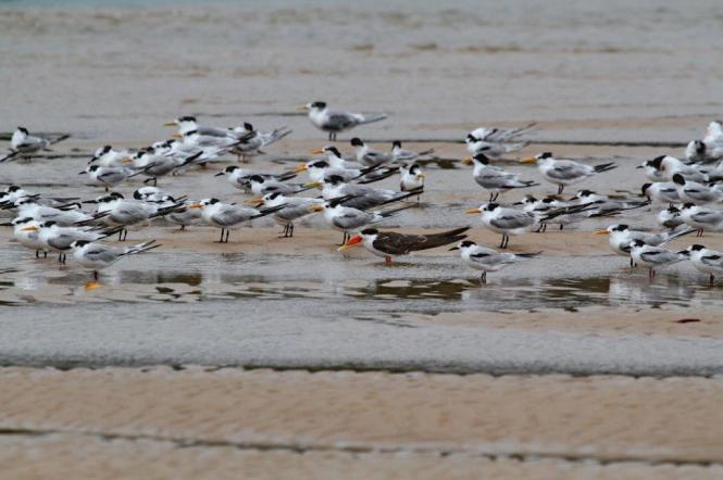 African Skimmer among Terns