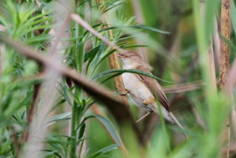African Reed Warbler