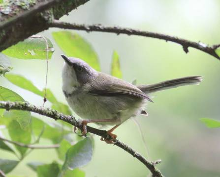 Bar-throated Apalis - Crystelle Wilson