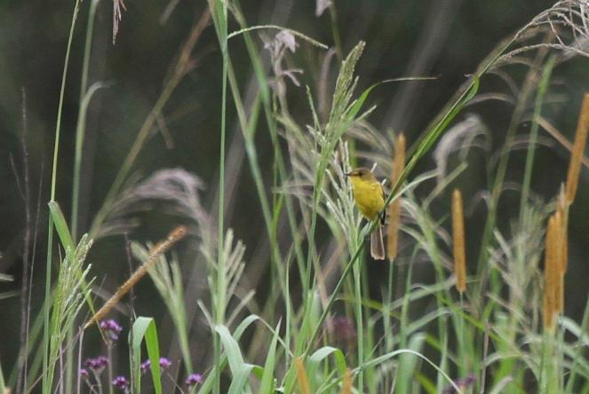 Dark-capped Yellow-Warbler