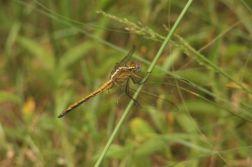 Eastern Blacktail female