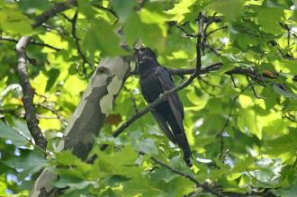 Black Cuckoo