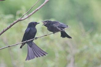 Southern Black Flycatcher feeding young