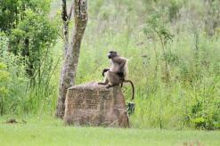 Monkey Business - Baboon style