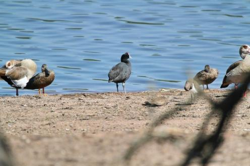 Red-knobbed Coot among friends