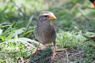 Red-billed Quelea - with yellow bill