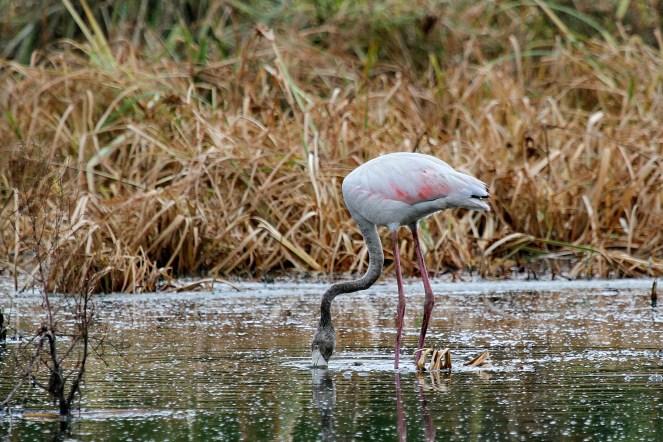 Greater Flamingo - juvenile