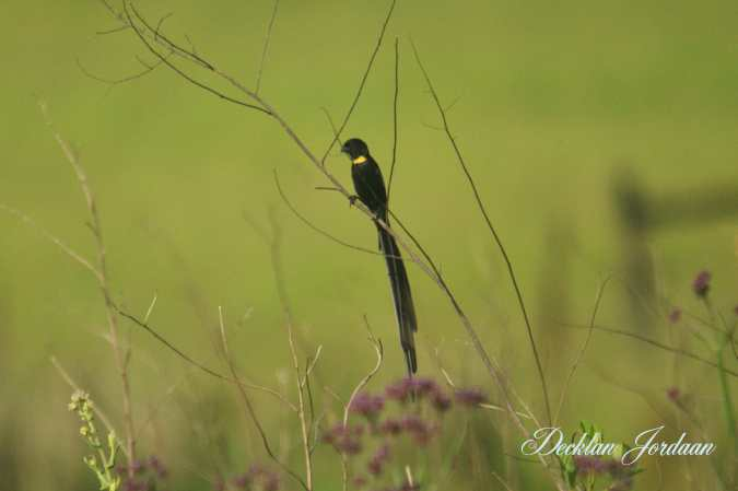 Red-collared Widowbird - bright yellow morph - Decklan Jordaan