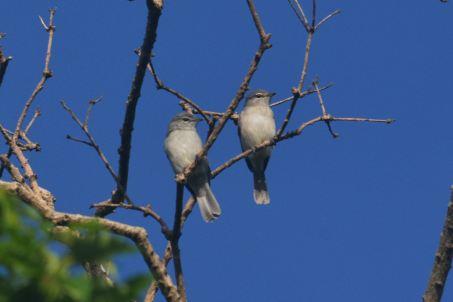 Ashy Flycatchers. Hennie and Decklan Jordaan