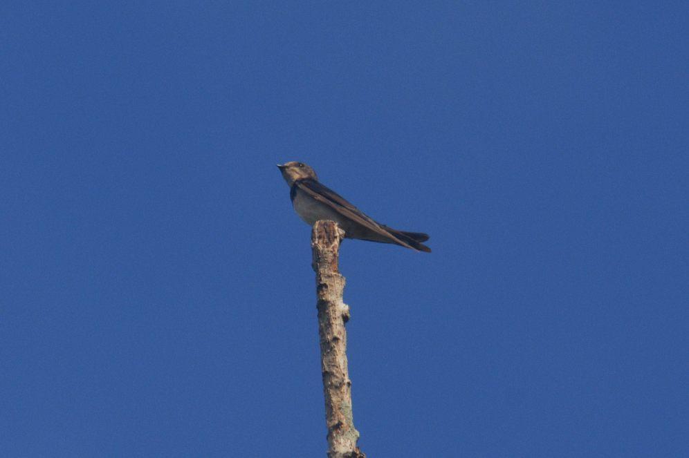 Barn Swallow. Hennie and Decklan Jordaan