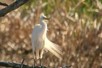 Yellow-billed Egret blowing in the wind