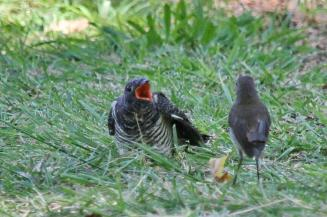 Red-chested Cuckoo - juvenile - squeaking for food with foster parent