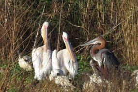 White-backed Pelicans and Goliath Heron