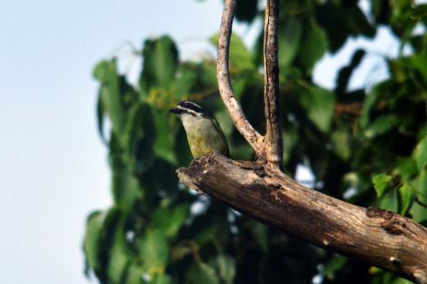 Yellow-rumped Tinkerbird. Hennie and Decklan Jordaan
