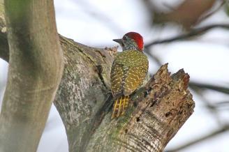 Golden-tailed Woodpecker - seen drumming like a Bearded Woodpecker