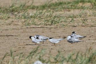 Little Terns with lovely yellow beaks.