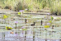 White-backed Ducks and African Pygmy Geese