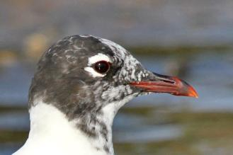 Franklin's Gull - note the red eyering