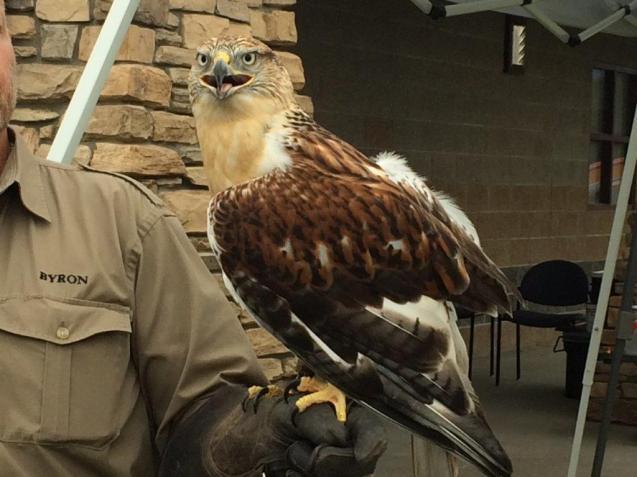 Ferruginous Hawk in rehab