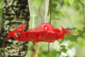 Rufous Hummingbirds - females