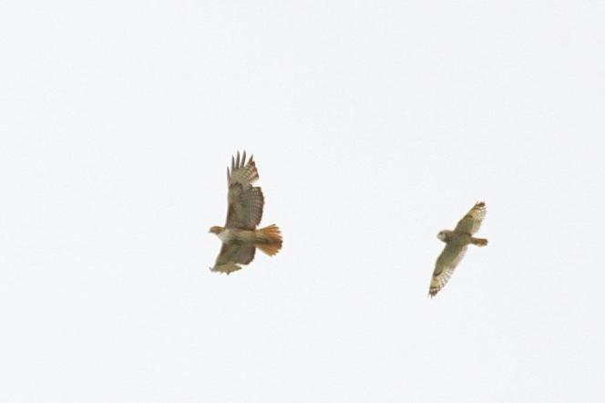 Short-eared Owl bombing Red-tailed Hawk at some height