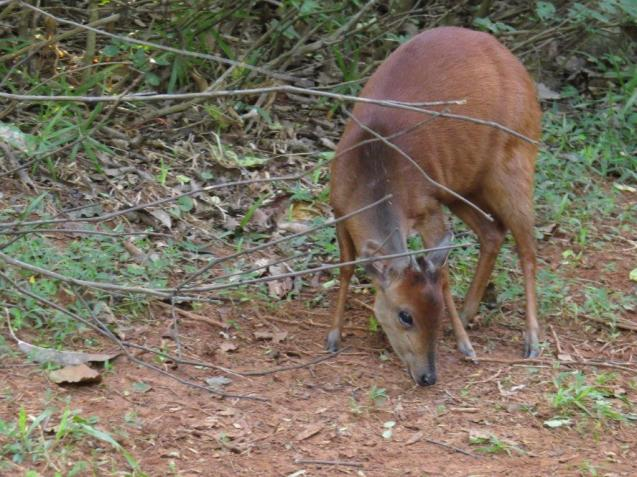 An obliging Red Duiker - Sally Bartho