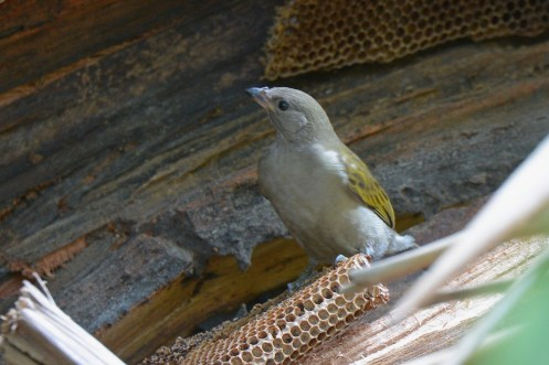 Lesser Honeyguide (Indicator minor) - Dave Rimmer