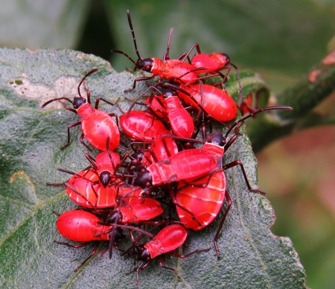Nymphs of the cotton-stainer bug