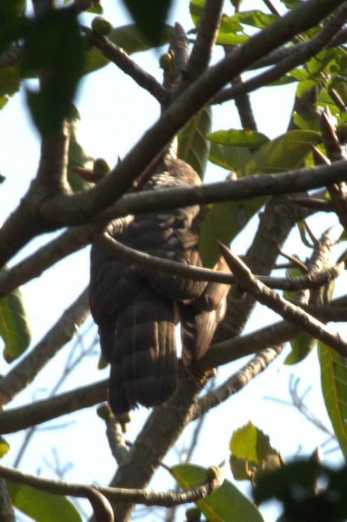Black Sparrowhawk - John Bremner