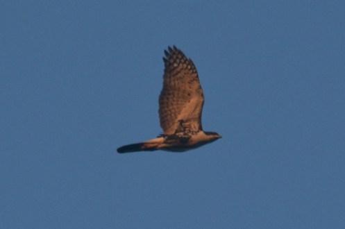 Black Sparrowhawk - Hennie Jordaan