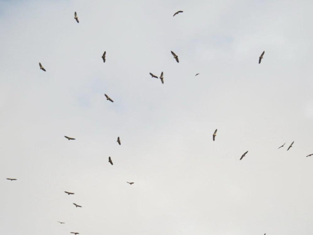 Cape Vultures circling above