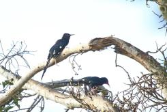 Green Wood-Hoopoe - adult and juvenile