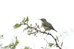 Marico Sunbird - female